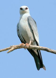 The Mississippi Kite (Ictinia mississippiensis) is a small bird of prey in the family Accipitridae. Mississippi Kites breed across the central and southern United States. Breeding territory has expanded in recent years and Mississippi Kites have been regularly recorded in the southern New England states and a pair has successfully raised young as far north as Newmarket, New Hampshire.[3] They migrate to southern subtropical South America in the winter.