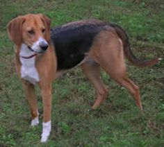 American Foxhound: History, Temperament, Care, Training & more - Dogs and Dog Advice Border Terrier, Cairn Terrier, Cavalier King Charles, Charles Spaniel, English Foxhound, American Foxhound, Clumber Spaniel, Bearded Collie, Afghan Hound