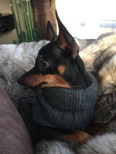 """Visit our internet site for more relevant information on """"pinscher puppies"""". It is actually an excellent place to read more. Mini Pinscher, Miniature Pinscher, Doberman Pinscher, Pet Dogs, Dog Cat, Chihuahua Dogs, Doggies, Cute Puppies, Dogs And Puppies"""