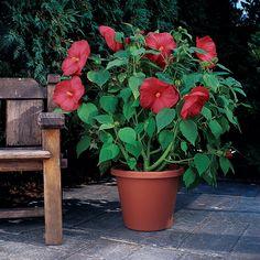 Hibiscus Seed – Luna Red Hardy Hibiscus Flower Seeds – Famous Last Words Hibiscus Flowers, Lavender Flowers, Red Flowers, Sedum Plant, Hosta Plants, Perennial Grasses, Hardy Perennials, David Sunflower Seeds, Salvia Plants