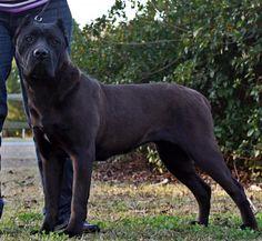 Cane Corso Kennel, Cane Corso Breeders, Cane Corso Mastiff, Cane Corso Dog, Cane Corsa, Really Big Dogs, Massive Dogs, Black Pitbull, Dogs