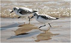 Sanderlings Running - Bing images