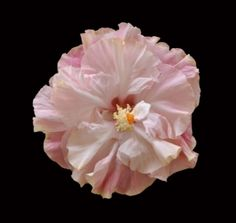 Big Bad Flower - Chiffon Pink hibiscus, $19.99 (http://www.bigbadflower.com/tropicals/chiffon-pink-hibiscus/)