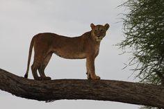 Lion in Tarangire, Tanzania