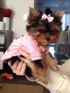 Yorkshire terrier 13 weeks first bow