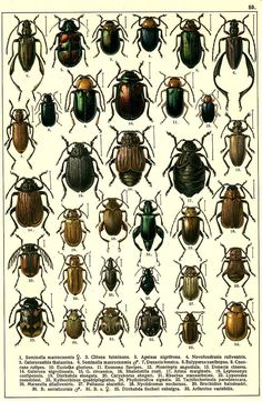 """G.G. Yakobson (1905-1915) - """"Beetles of Russia"""": table 59"""