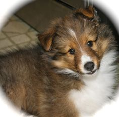 Beautiful Sheltie puppy