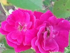 My roses 2012