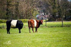 Lakenvelder cows Nunspeet The Netherlands