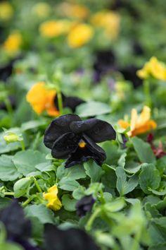 Fall Planting, Citrus Heights, Elk Grove, Flower Beds, Love Flowers, Pansies, Bloom, Plants, Plant