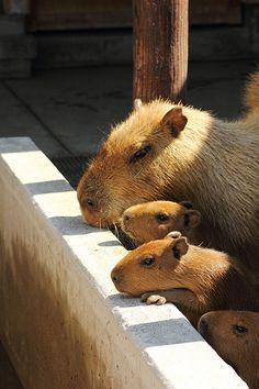Capybara Mama and Baby (Ichikawa, Chiba, Japan)