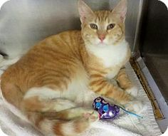 Westampton, NJ - Domestic Shorthair. Meet C-58165 Gracie a Kitten for Adoption.