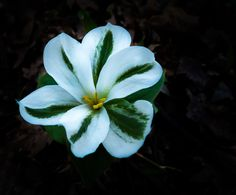 Trillium veriegated ...  May 10 2015