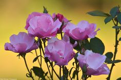 Pink Roses are alive as well. Buds look ready to bloom too.