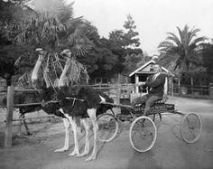 Vintage LA Ostrich Farm