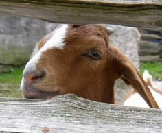 Life on the Farm Goat @Michele Morales Morales Morales Morales Dunn found this for you!! :)