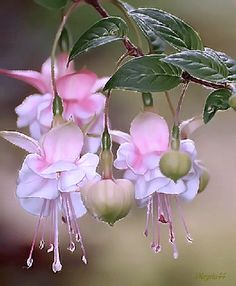 Help Make Your Garden Special - Easy Garden Plants Flowers Gif, Exotic Flowers, Flowers Nature, Amazing Flowers, Beautiful Flowers, Fuchsia Flower, Fuchsia Plant, Flower Pictures, Garden Plants
