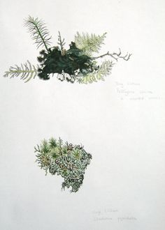 claire kathleen ward, lichen drawings