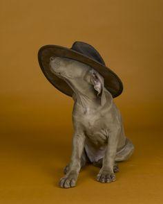 William Wegman, Hat's On, 2006