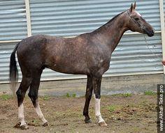 Akhal-teke horses for sale - Sherkhan-Mid(Pursat - Garcha)
