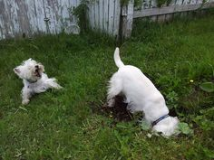 .Haha....someone is going to get into trouble.My dogs are like this...they're worse than moles....I almost break my ankles going out into the backyard! One started digging and quickly taught the other.