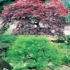 Shop Acer Dissectum Collection at J Parkers. Japanese Maples are great small trees offering stunning Autum foliage and grace. Available to buy online in the UK. Plants For Shady Areas, Acer Palmatum, Japanese Maple, Garden Trees, Small Trees, Color Change, Pond, Roots, Wildlife