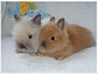 Teddy Angels nabízí k rezervacím miminka dlouhosrstých zakrslých králíčků Teddy která budou k odběru v průběhu února 2019.Miminka budou k osobnímu odb... Rabbit, Animals, Rabbits, Bunny, Animales, Animaux, Bunnies, Animal Memes, Animal