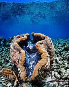 Giant clam Great Barrier Reef. by matt_curnock http://ift.tt/1UokkV2