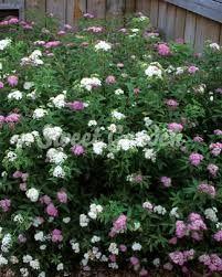 """Képtalálat a következőre: """"shirobana gyöngyvessző"""" Plants, Plant, Planets"""