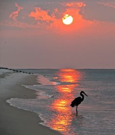 Crane looking for breakfast - The seabirds like to fish early morning at the sun rises.