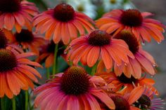 Proven Winners - Color Coded™ 'Orange You Awesome' - Coneflower - Echinacea hybrid orange tangerine plant details, information and resources. Orange Flowers, Colorful Flowers, Beautiful Flowers, Orange Color, Exotic Flowers, Yellow Roses, Cut Flowers, Pink Roses, Comment Planter