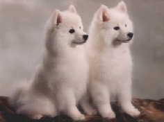 Either an American Eskimo dog (miniature size) or Japanese Spitz
