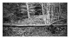 Woodland at Ballymahon