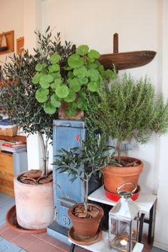 Oliivipuut ja rosmariini maaliskuussa Planter Pots, Exterior, Gardens, Courtyards, Flowers, Outdoor Rooms