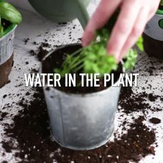 growing herbs indoors Growing herbs indoors is easy, these simple steps to make sure your herbs thrive and grow! Nothing is better than fresh herbs on a home-cooked meal, and growing your own is something everyone can do. Healing Herbs, Medicinal Plants, Container Plants, Container Gardening, Herbs Illustration, Diy Herb Garden, Herbs Garden, Gardening Vegetables, Fruit Garden