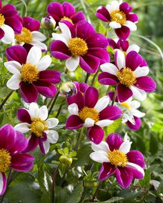 Twynings Smartie Specialty Dahlia - 2 Top Size Root Clumps