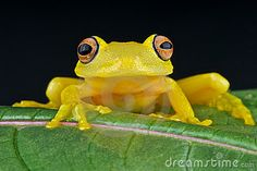 Yellow Glass Frog - Download From Over 57 Million High Quality Stock Photos, Images, Vectors. Sign up for FREE today. Image: 19749062