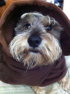 schnauzie n a hoodie GOTTA LOVE IT!❤️