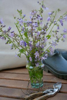 nel bicchiere piccole campane blu Campanula poscharskyana 'Lisduggan'