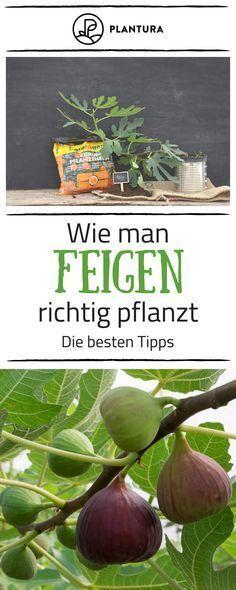 Feigen Zahlen Zu Jenem Obst Das Man Nicht In Unseren Garten Erwartet Doch Mi Gardening For Beginners Container Gardening Vegetables Fig Tree