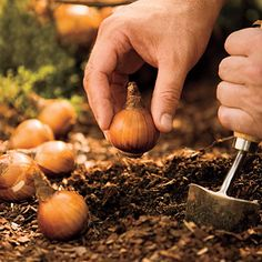 Garden Now, Enjoy Later  -- It's time to plant your bulbs for spring blooms! @Southern Living has some great tips plus they mention local bulb seller Brent and Becky's Bulbs.