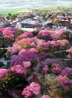 Más Lapachos rosados en Asunción - Agosto 2012