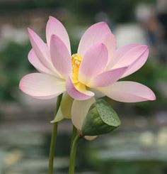Aquatic plants abound in natural ponds and streams, make sure you fill your water features with them. You can even buy small container lotus or water lilies and… Pond Plants, Aquatic Plants, Growing Flowers, Love Flowers, Flower Petals, Lotus Flower, Oriental People, Sacred Lotus, Backyard Plan