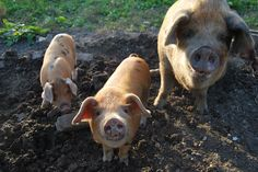 Oxford Sandy and Black     Category 5 'Minority'   500-1000 registered breeding sows in the UK.