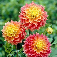 Dahlia Kogane Fubuki - planten mrt-mei, bloei juli-oktober, hoogte: 80 cm, bolgewas