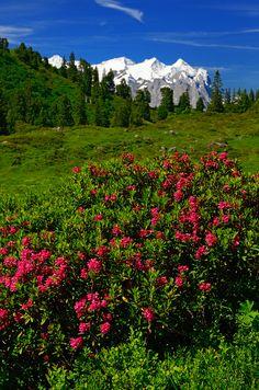 Alpenrosen Engstlenalp Berner Oberland