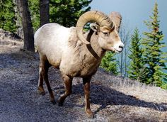 Bighorn sheep strutting right by me - Banff National Park