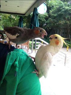 MY SHOULDER!!!!!!! Funny Birds, Cute Birds, Pretty Birds, Cute Funny Animals, Cute Baby Animals, Beautiful Birds, Animals And Pets, Cockatiel Cage, Funny Parrots