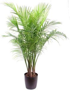 Una palmera de primera: Palmera Majesty