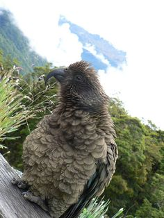 Kea in Fiordland National Park, New Zealand...